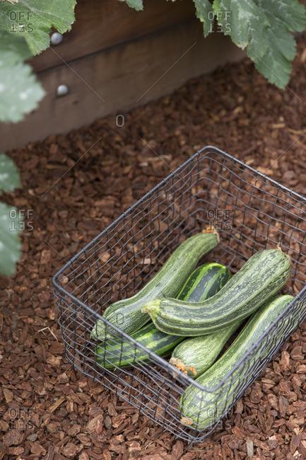 Basket of garden zucchini