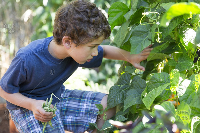 Boy picking green beans in the garden