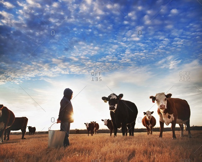 Boy by cow herd in sunlight