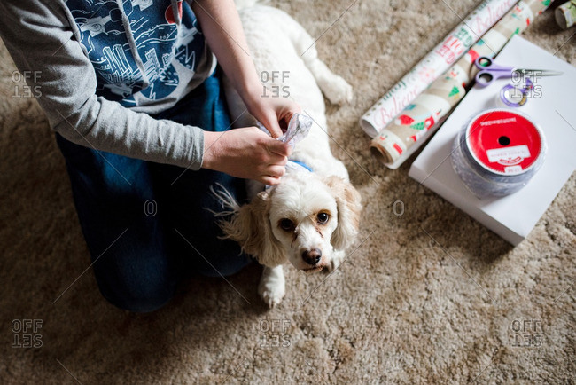 Boy putting Christmas ribbon on dog