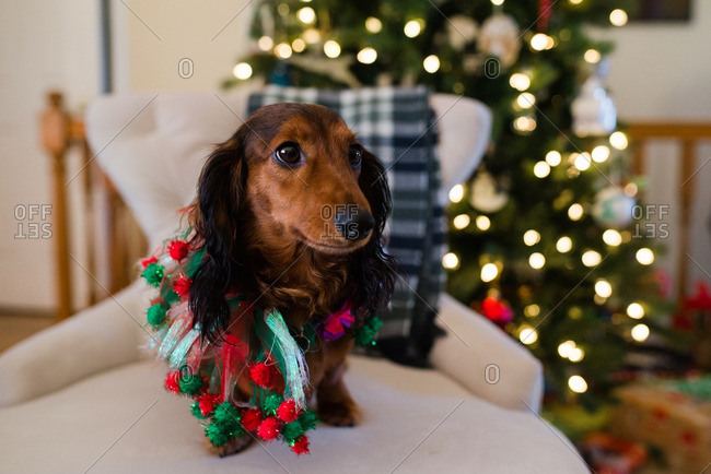 Dog in Christmas clothing