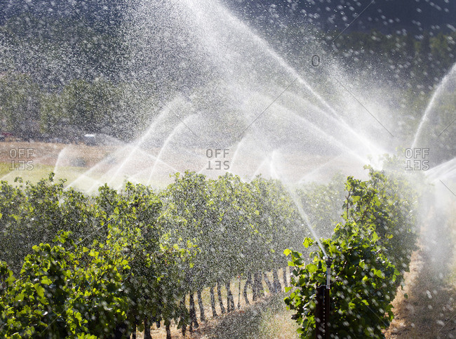 Grapevines being watered, Washington state