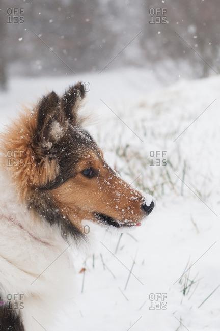 Sheltie outside in falling snow