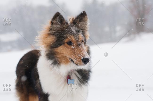 Sheltie standing outside in falling snow