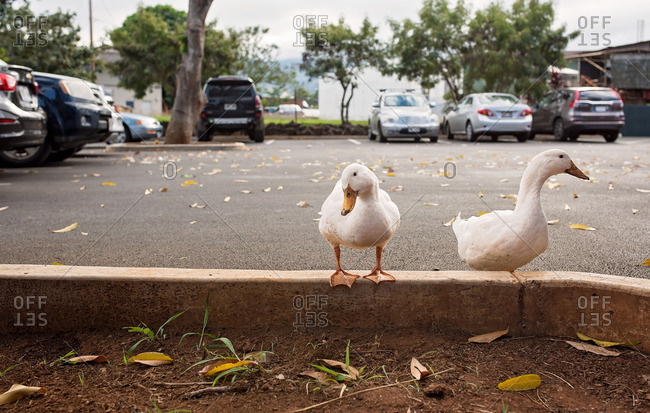 White ducks standing by a parking lot