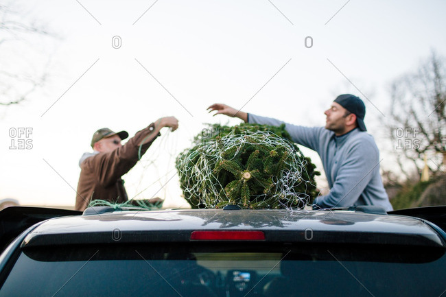 Men tying Christmas tree to roof of vehicle