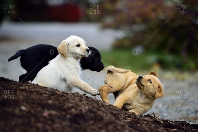 Close-up Of Puppies Playing Together