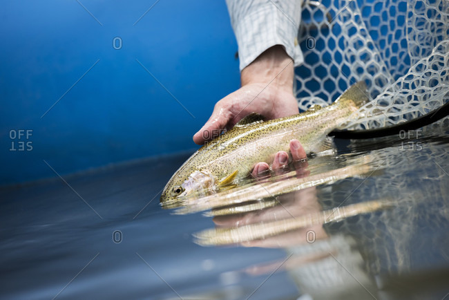A Rainbow Trout Being Released Back Into The Guadalupe River After Being Caught