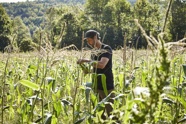 A Farmer Picks Corn On His Organic Farm