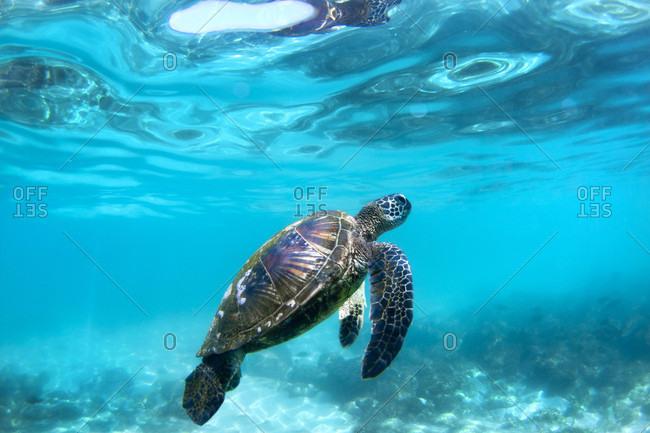 Underwater View Of Hawaiian Sea Turtles In Their Habitat In Hawaii