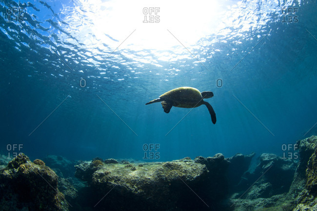 An Underwater View Of A Hawaiian Sea Turtle At Sharks Cove