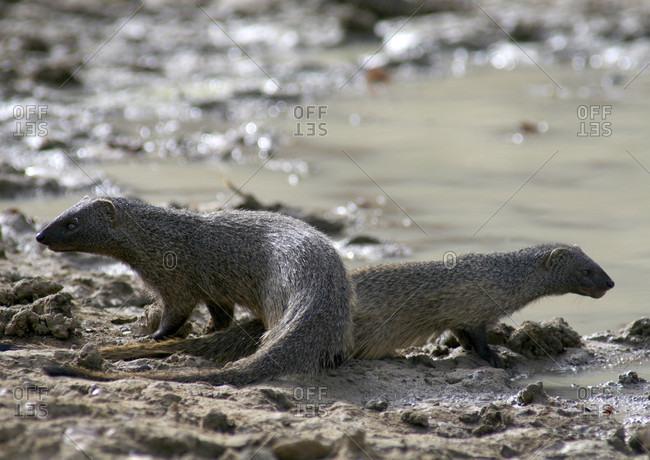 Two Egyptian Mongoose In Zakouma National Park, Chad