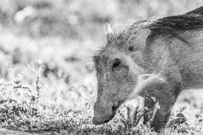 A Young Warthog Searches For Food In The Ground During A Safari Tour Of Addo Elephant National Park