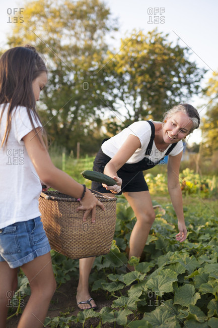 A Mother And Daughter Collecting Vegetables In Basket From Their Garden