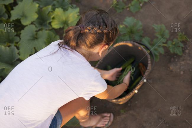 Young Girl Collecting Vegetables In The Basket From Her Garden