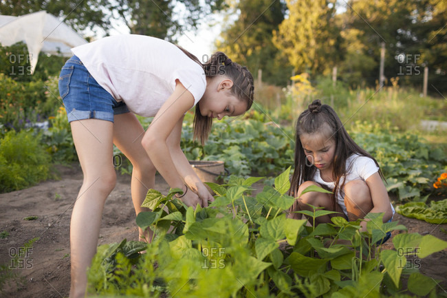 Two Sisters Harvest Beans From Their Garden In Fort Langley