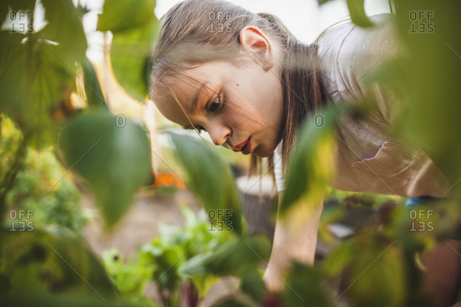 A Young Girl Harvesting Fruit And Vegetables From Her Garden In Fort Langley