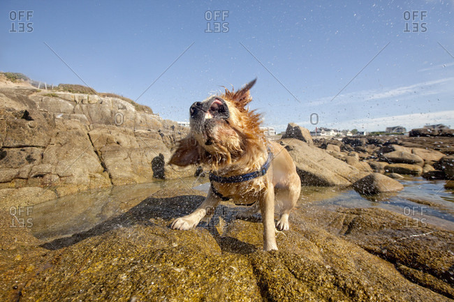 Wet Dog Shaking Head On Beach Of Ile De Groix