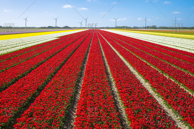 Bright Red Tulip Field In Spring