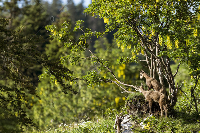 Two Young Alpine Chamois Standing Under A Tree