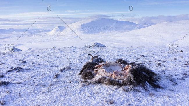 The Carcass Of A Muskox Abandoned On The Frozen Ground
