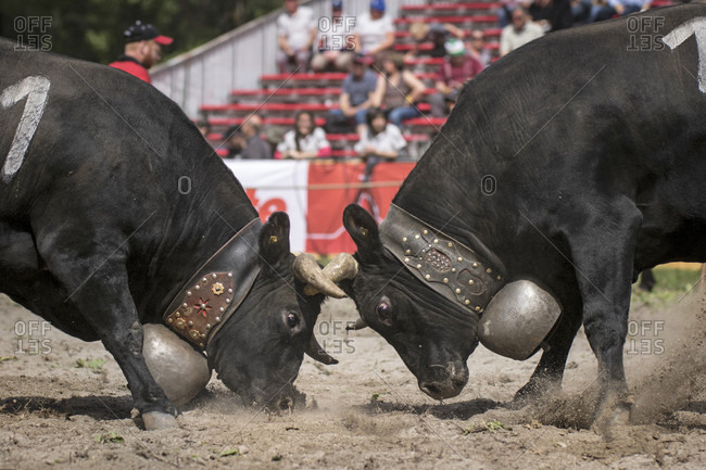 Cow Fighting Is A Traditional Swiss Event In Which A Cow Fights Another Cow