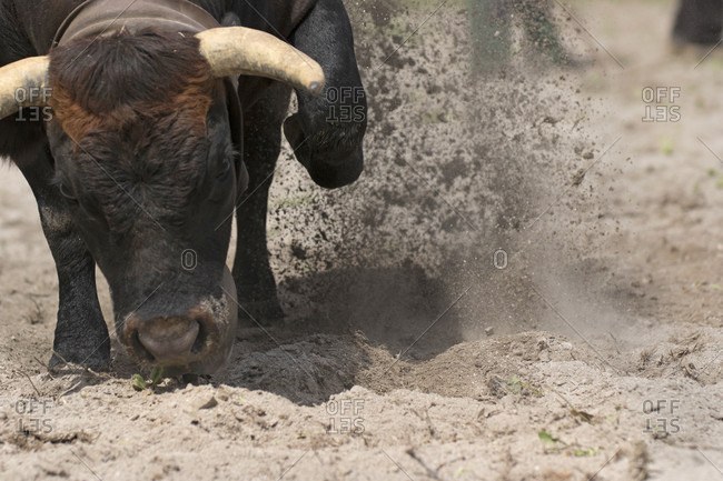 A Cow Kicking Up Sand With Its Forelegs During A Traditional Swiss Cow Fight