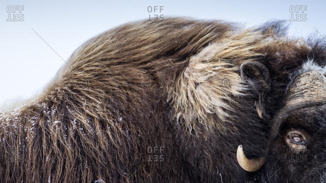 A Partial Facial Portrait Of A Muskox