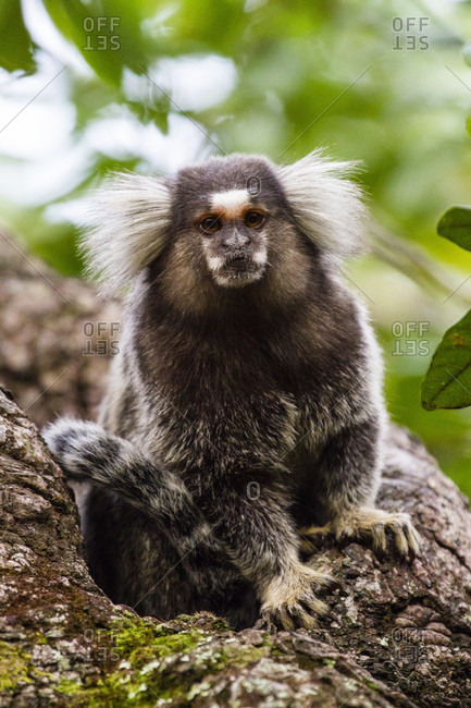 Portrait Of White Tufted-eared Marmoset In The Vila Do Abraao