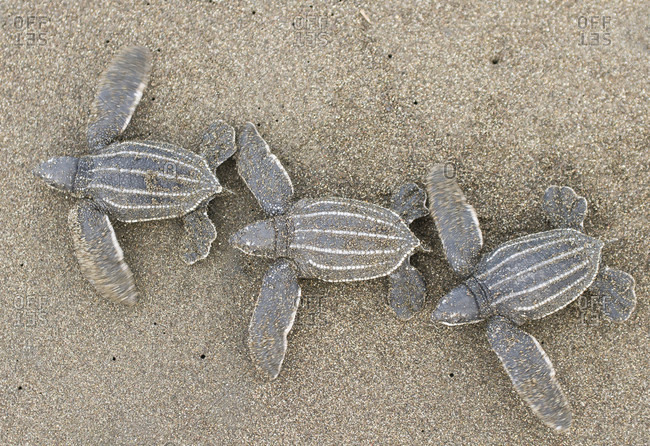 High Angle View Of Leatherback Turtles Walking On Sand
