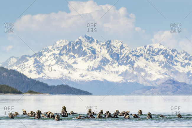 A Raft Of Sea Otters In Water Near Boulder Island, Glacier Bay National Park, Alaska, Usa
