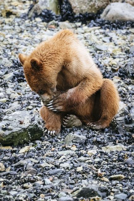 Juvenile Coastal Brown Bear In Muir Inlet, Glacier Bay National Park, Alaska, Usa