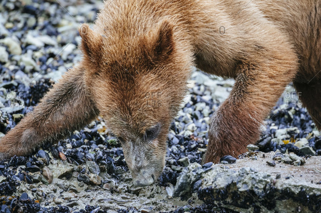 Juvenile Coastal Brown Bear Moves Aside A Rock To Reveal A Blenny