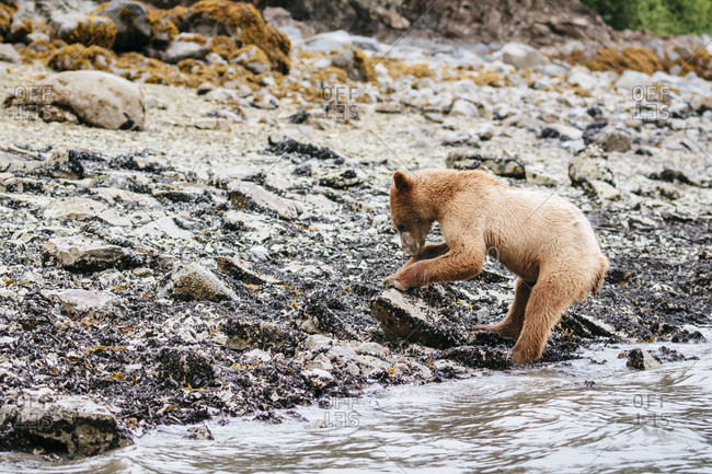 Coastal Brown Bear Lifts A Rock To Search For Food In Muir Inlet