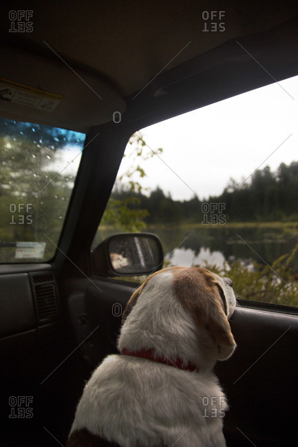Pet Dog Looking Outside The Window Of A Car During A Road Trip To Adirondacks