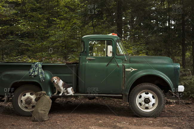 Beagle Sits On Vintage Pick-up Truck In The Adirondack Mountains