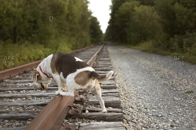 Dog Walking On Abandoned Adirondack Railroad In Beaver River, New York