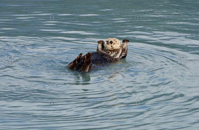 Sea Otter Floating On Water In Kenai Fjords National Park, Alaska