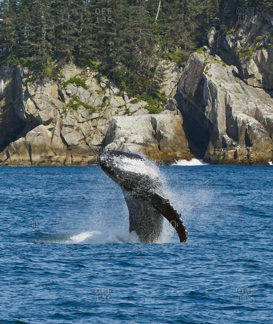 Whale Breaching In Kenai Fjords National Park, Alaska