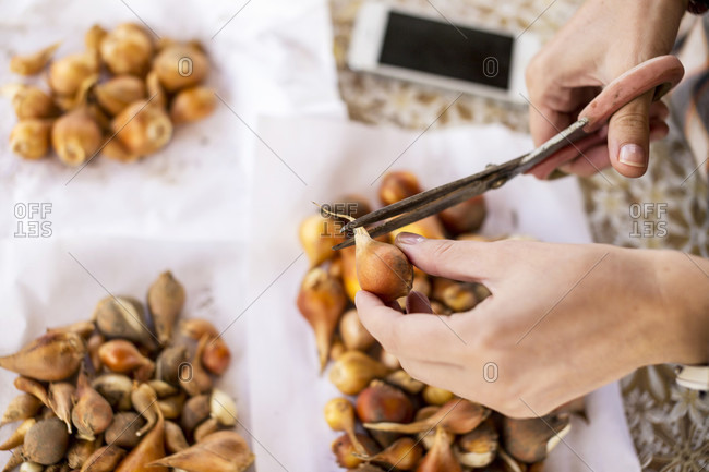 High Angle View Of Person Hand Holding The Scissors Cutting Tulip Bulbs