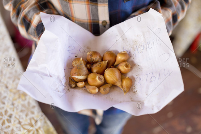 Close-up Of Person Hand Holding The Paper Of Tulip Bulbs