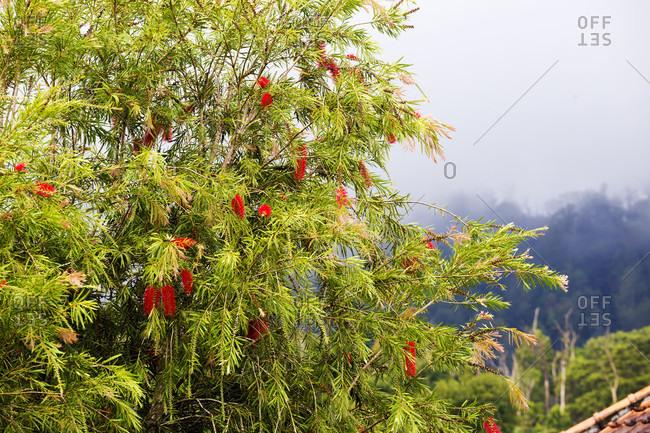Flowering Tree In Bali, Indonesia