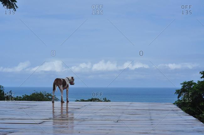 Dog standing on deck overlooking the ocean