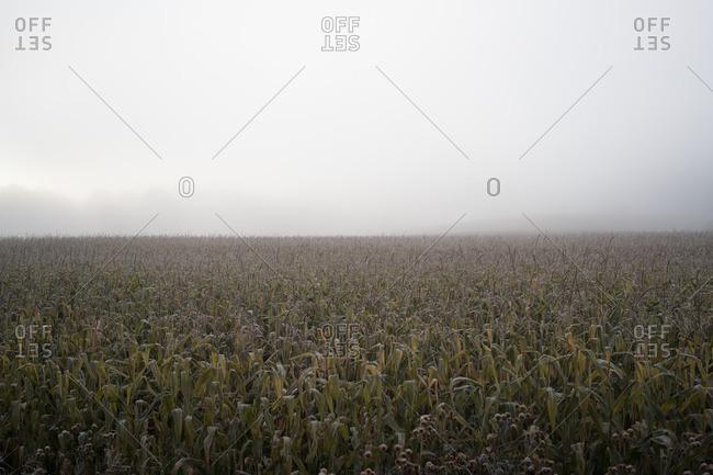Fog over a corn field