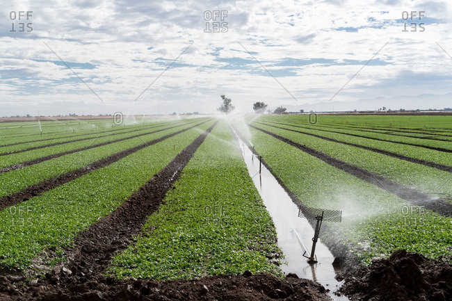 Field of crops being watered by irrigation system