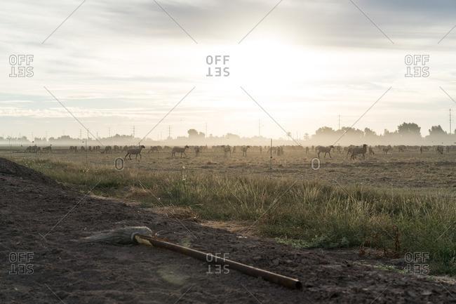Abandoned broom near sheep field
