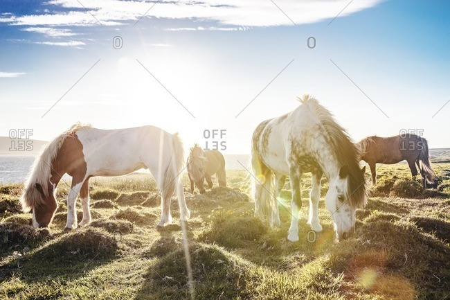 Wild horses grazing in meadow in Iceland