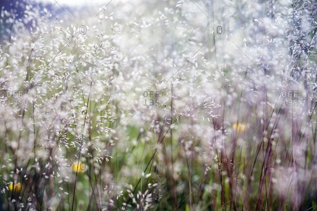 Close-up of wild grasses in meadow