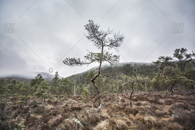 Gnarled tree in rugged landscape in Norway