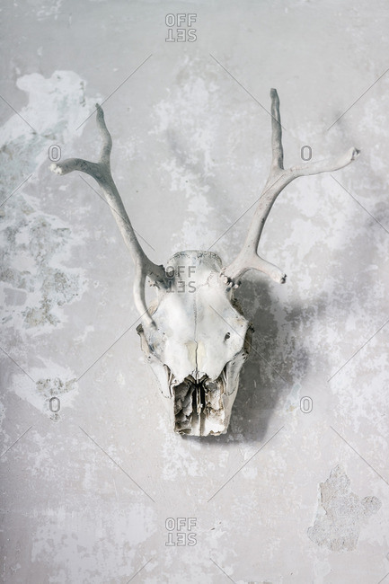 Reindeer skull decoration hanging on wall